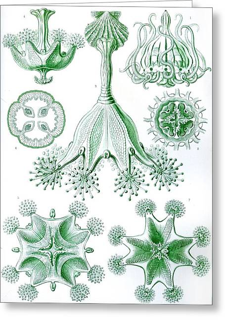 Vertical Drawings Greeting Cards - A Collection Of Stauromedusae Greeting Card by Ernst Haeckel