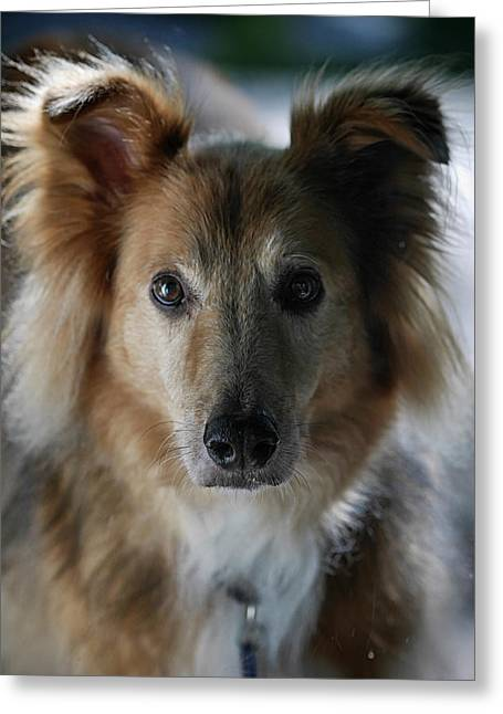 A Collie And Golden Retriever Mix Dog Greeting Card by Al Petteway & Amy White
