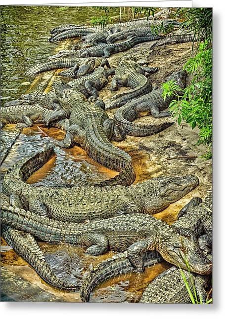 A Congregation Of Alligators Greeting Card by Rona Schwarz