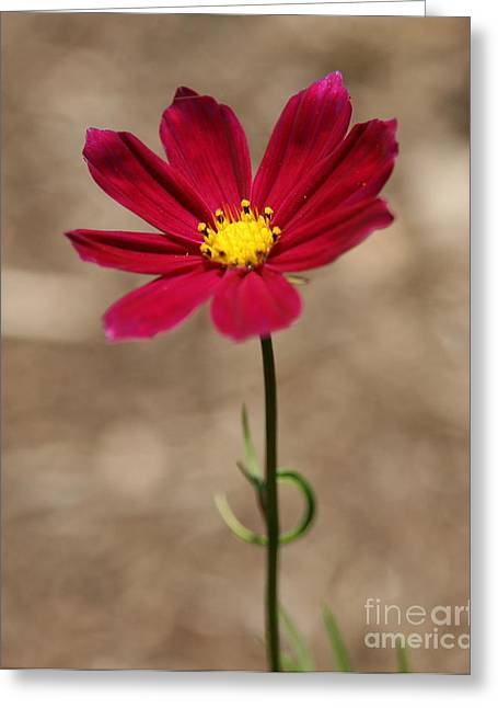 Macro Photography Greeting Cards - A Cosmos Stand  Greeting Card by Neal  Eslinger