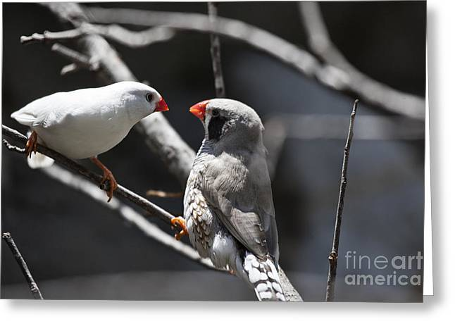 Finch Greeting Cards - A Couple Greeting Card by Douglas Barnard