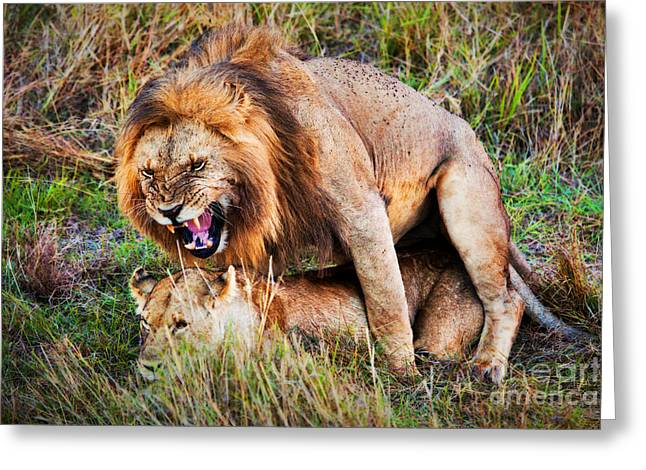 Serengeti Lioness Greeting Cards - A couple of lions breed on savanna Serengeti. Tanzania. Africa Greeting Card by Michal Bednarek