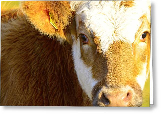 Promoters Greeting Cards - A cow looking into the camera Greeting Card by Toppart Sweden