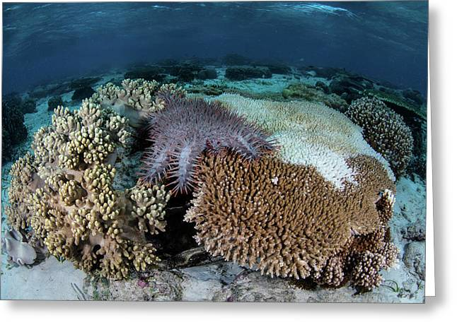 A Crown-of-thorns Sea Star Feeds Greeting Card by Ethan Daniels