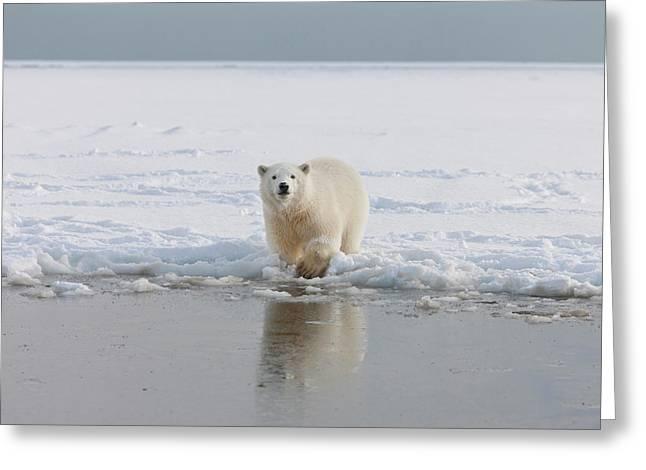 A Curious Young Polar Bear Plays Greeting Card by Hugh Rose