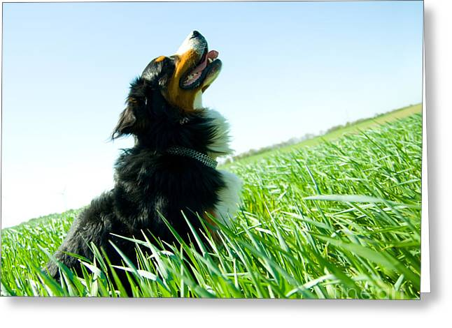 Sheepdog Greeting Cards - A cute dog on the field Greeting Card by Michal Bednarek