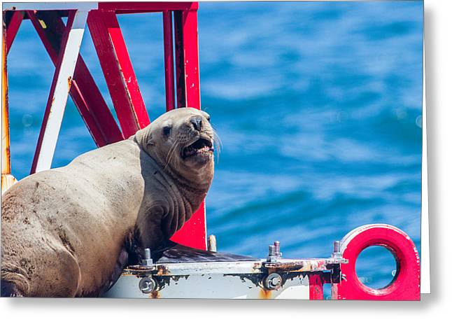 California Sea Lions Greeting Cards - A Day in the Sun Greeting Card by Michael Chatt