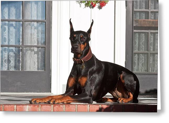 A Doberman Pinscher Lying On A Red Greeting Card by Zandria Muench Beraldo