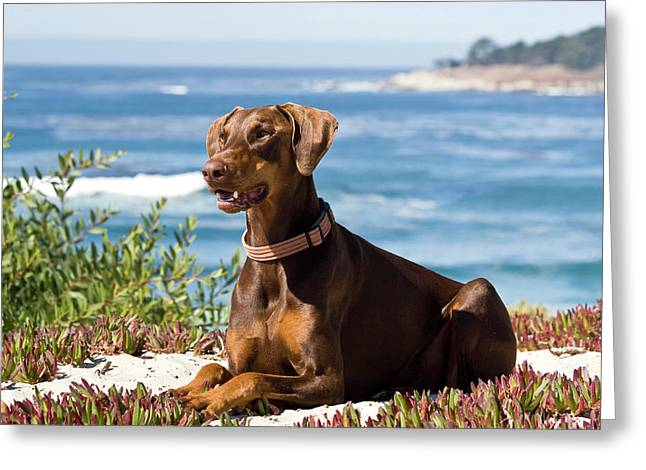 A Doberman Pinscher Lying On The White Greeting Card by Zandria Muench Beraldo