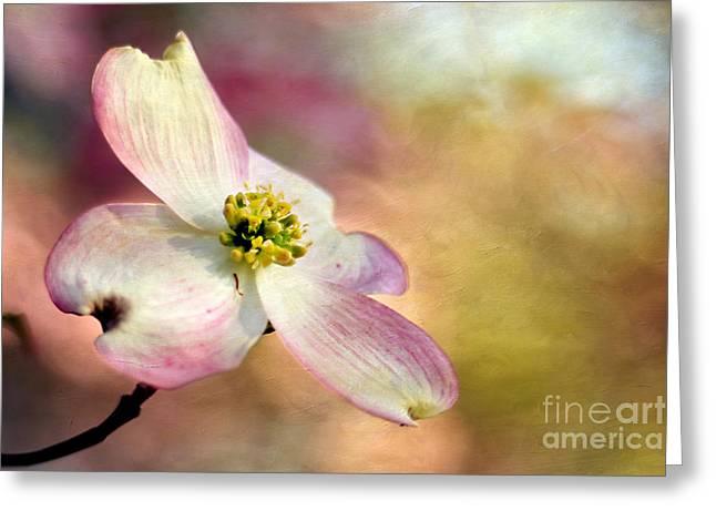 Cornus Greeting Cards - A Dogwood Bloom Greeting Card by Darren Fisher