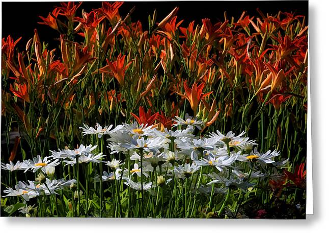 Day Lily Greeting Cards - A Dollop Of Daisies Greeting Card by Donna Kennedy