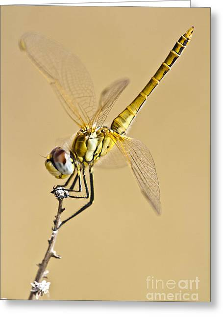 Zoologic Greeting Cards - A Dragon Flies Greeting Card by Heiko Koehrer-Wagner