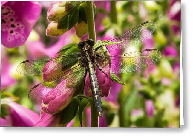 Thomas Pettengill Greeting Cards - A Dragon Fly Resting In A Forest of Foxgloves Greeting Card by Thomas Pettengill