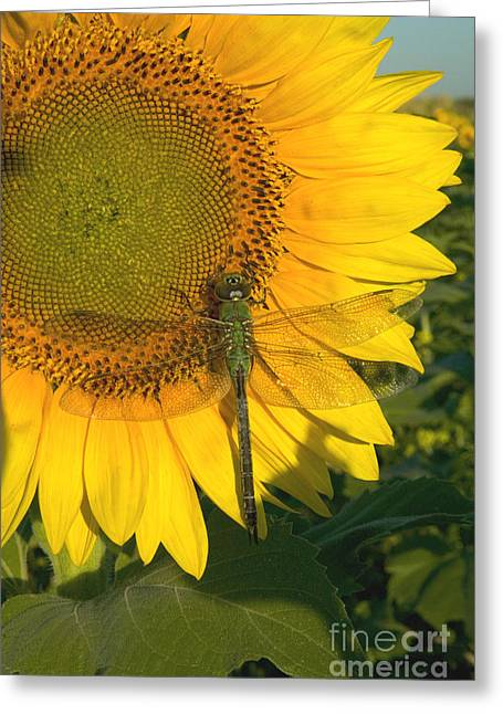 Yellow Dragonfly Greeting Cards - A Dragonfly Rests On A Sunflower Greeting Card by Inga Spence