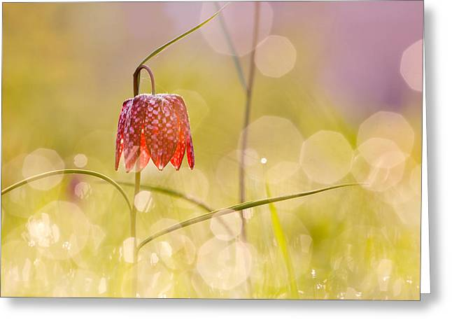 Dew Covered Flower Greeting Cards - A Fairies Place II _Snakes head fritillary Greeting Card by Roeselien Raimond
