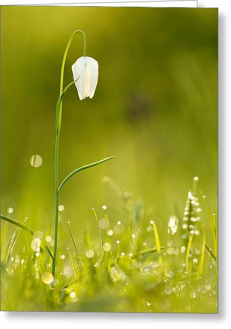 Fragility Photographs Greeting Cards - A Fairies Place III _Snakes head fritillary Greeting Card by Roeselien Raimond