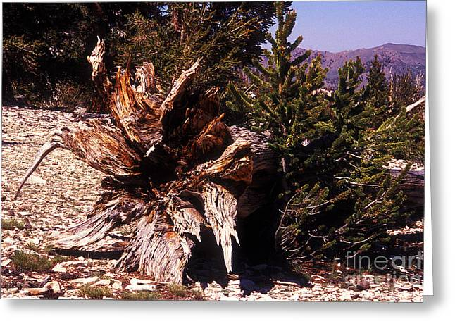 Tree Roots Greeting Cards - A Fallen Ancient Greeting Card by Paul W Faust -  Impressions of Light