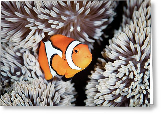 A False Anemonefish Amphiprion Greeting Card by Ethan Daniels