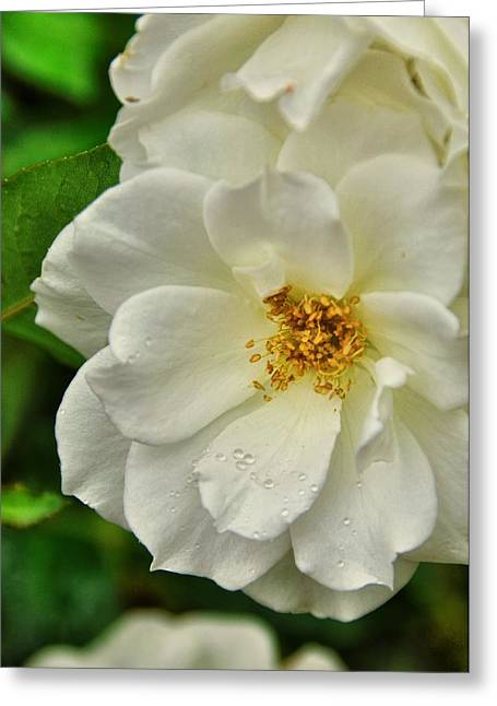 Dewdrops Greeting Cards - A Few Dewdrops Greeting Card by Jan Amiss Photography