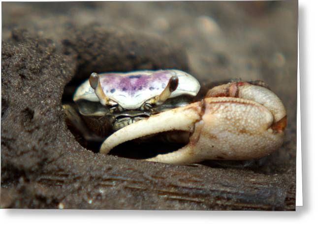Fiddler Crab Greeting Cards - A Fiddler Crab around Hilton Head Island Greeting Card by Kim Pate