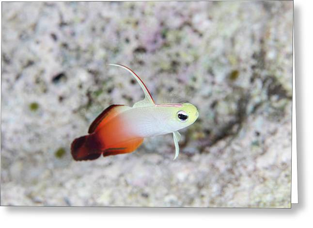 A Fire Dartfish Swims Above A Reef Greeting Card by Ethan Daniels