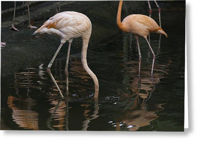 A Flamingo With Its Head Under Water In The Jurong Bird Park Greeting Card by Ashish Agarwal