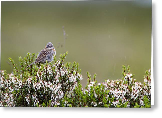 Sparrow Greeting Cards - A Fledling Rufous Collared Sparrow Greeting Card by Tim Grams