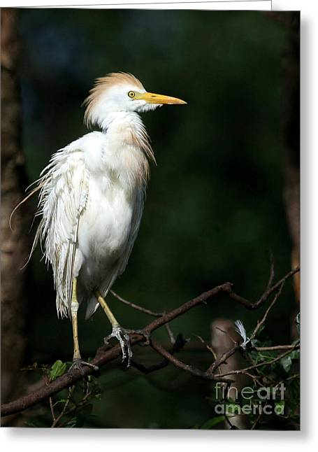 Cattle Egret Greeting Cards - A Fluffed Cattle Egret Greeting Card by Sabrina L Ryan