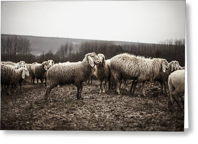 Country Woolies Greeting Cards - A Gathering of Sheep Greeting Card by Mountain Dreams