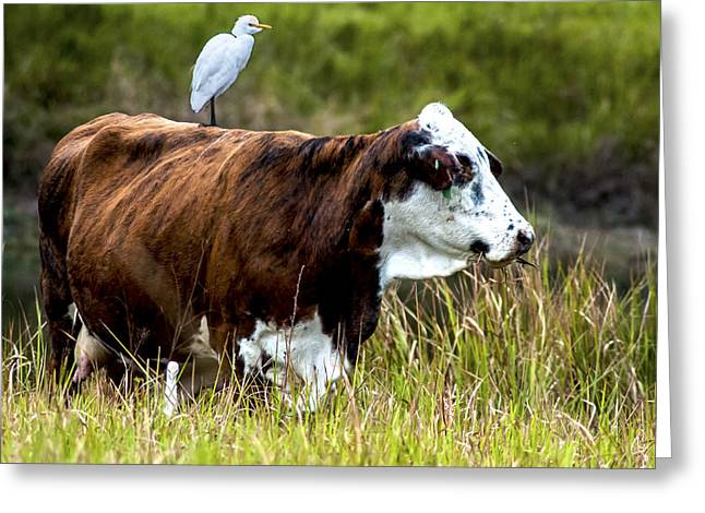 Polk County Florida Greeting Cards - A gentle Ride Greeting Card by Norman Johnson