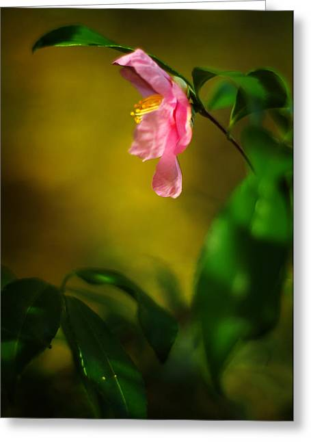 A Golden Day Portrait Of A Pink Camellia Greeting Card by Rebecca Sherman