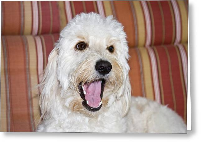A Goldendoodle Lying On A Lawn Chair Greeting Card by Zandria Muench Beraldo