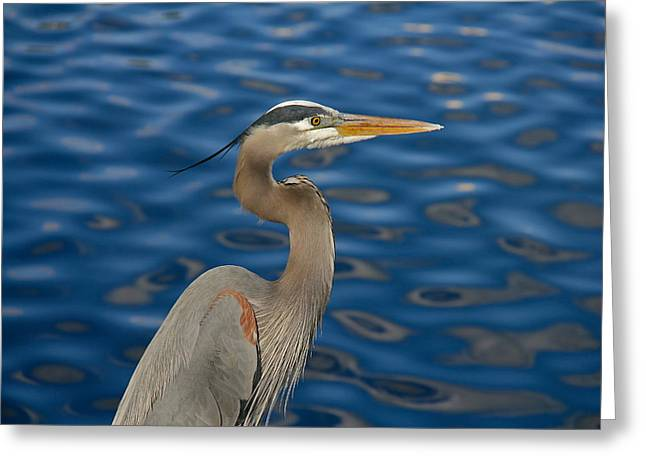 Wildlife Celebration Greeting Cards - A Great Blue Heron Greeting Card by Denise Mazzocco