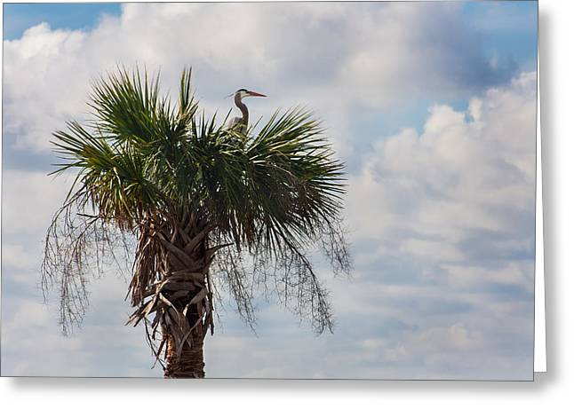 A Great Blue Heron Nests On A Cabbage Palmetto Greeting Card by Karen Stephenson