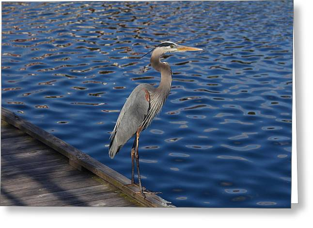 Wildlife Celebration Greeting Cards - A Great Blue Heron On A Dock Greeting Card by Denise Mazzocco