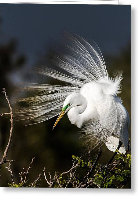 White Bird Greeting Cards - A Great Egret on a Windy Day Greeting Card by Ellie Teramoto