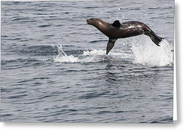 California Sea Lions Greeting Cards - The Great Leap Greeting Card by Annie White