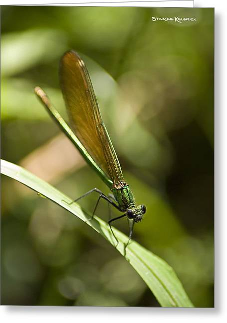 Amateur Photographer Greeting Cards - A green dragonfly Greeting Card by Stwayne Keubrick