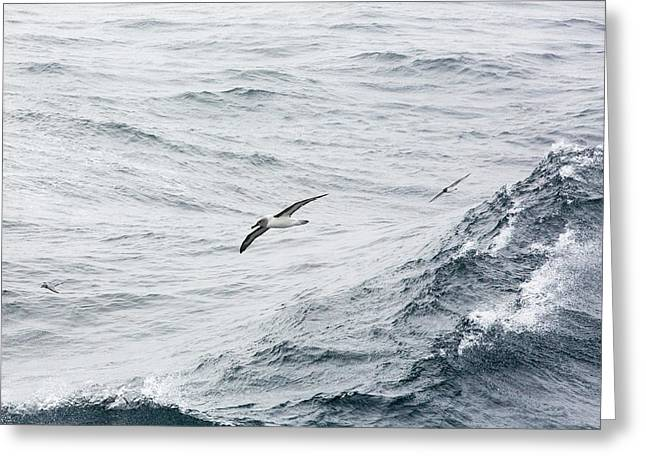 A Grey Headed Albatross Greeting Card by Ashley Cooper