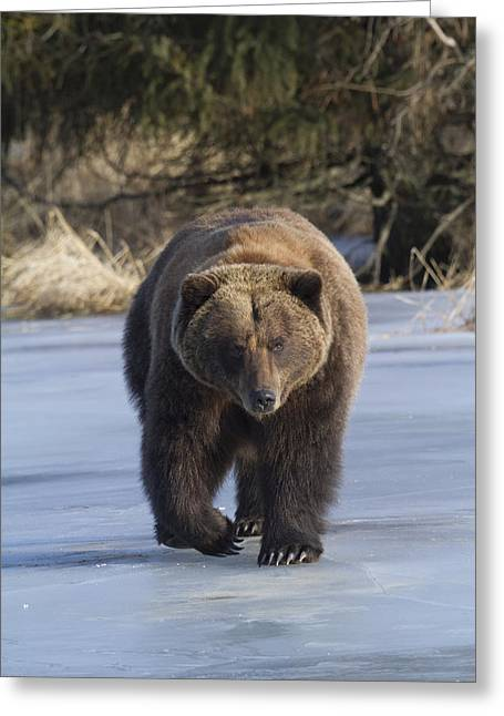 American Brown Bear Greeting Cards - A Grizzly Bear Ursus Arctos Walks Greeting Card by Doug Lindstrand
