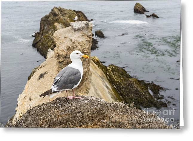 Montana De Oro Greeting Cards - A Gulls Life Greeting Card by Jamie Pham
