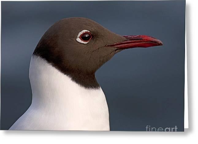 Oslo Greeting Cards - A Gulls portrait.. Greeting Card by Nina Stavlund
