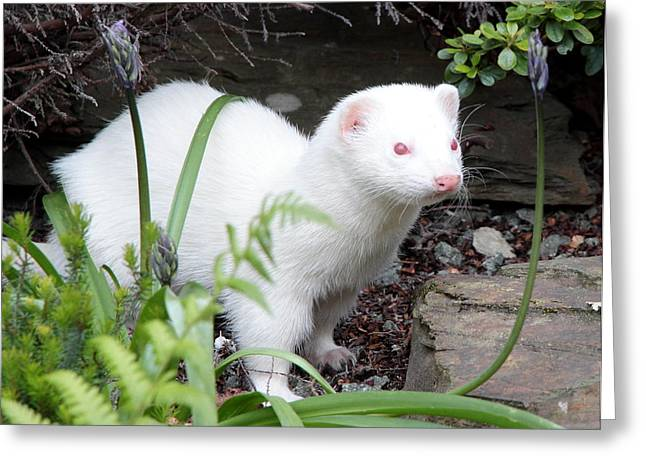 White Ferret Greeting Cards - A Handsome Hob Greeting Card by Nigel Espley