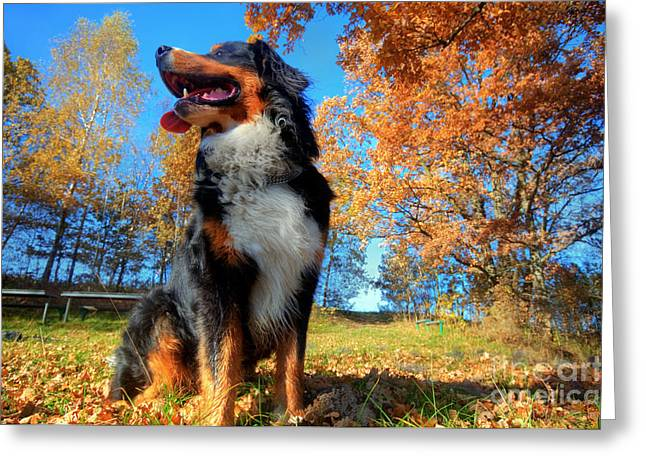 A Happy Bernese Mountain Dog Outdoors Greeting Card by Michal Bednarek