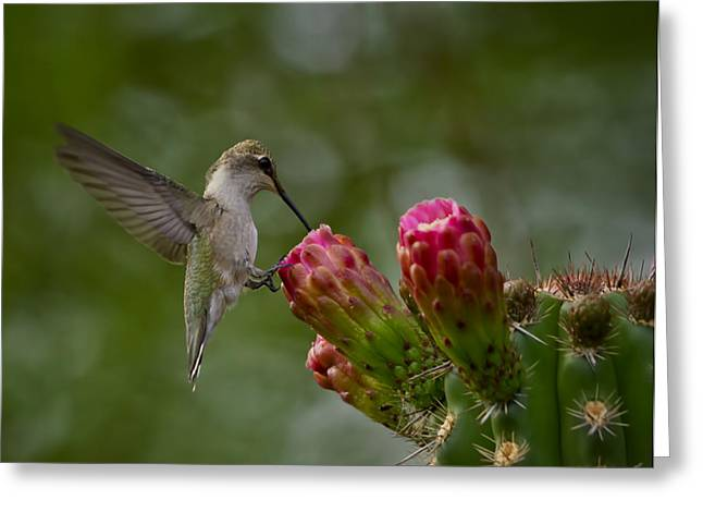 Pink Flower Prints Greeting Cards - A Happy Little Hummer  Greeting Card by Saija  Lehtonen