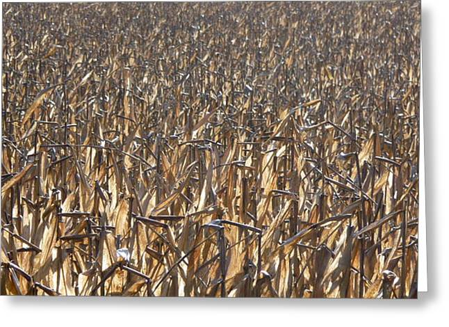 Ready For Harvest Greeting Cards - A Harvested Corn Field Greeting Card by Kenneth Summers