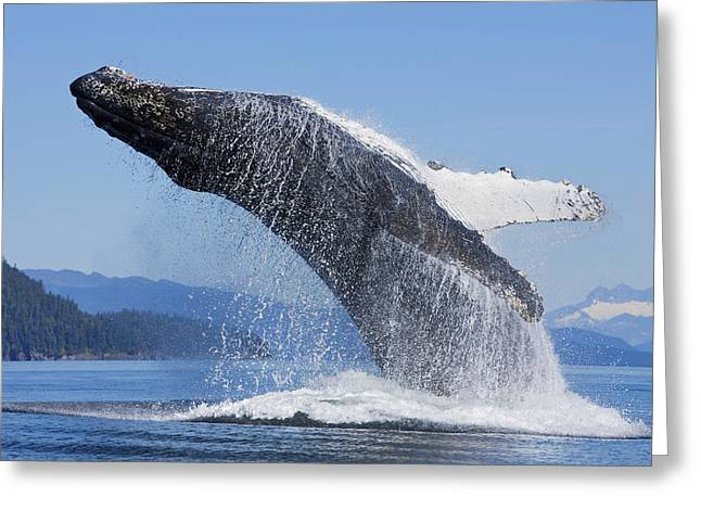 Chatham Greeting Cards - A Humpback Whale Breaches Greeting Card by John Hyde