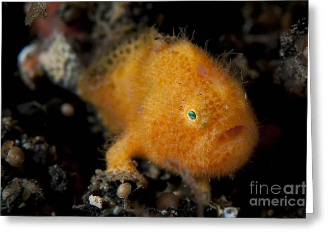 Lembeh Strait Greeting Cards - A Juvenile Hairy Frogfish, Lembeh Greeting Card by Steve Jones