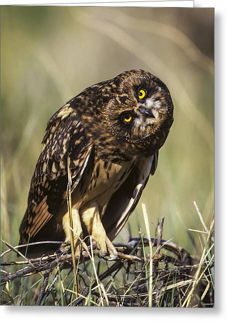 A Juvenile Short-eared Owl Asio Greeting Card by Robert L. Potts