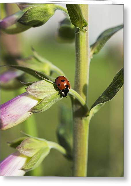 Differential Focus Greeting Cards - A Ladybug Beetle Rests On Foxglove_ Greeting Card by Robert L. Potts
